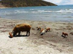 Ufer_Titicacasee_mit_Schweinen.jpg