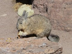 Viscacha.jpg