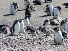 Pinguine_Punta_Arenas.jpg