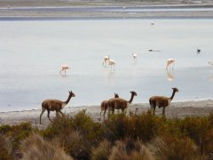 Flamingos_Vicunas_Salar_de_Surire.jpg