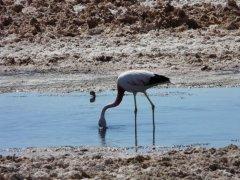 Salar_de_Atacama_Flamingo.jpg