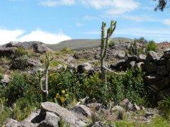 Kaktus_bei_Pinchollo.jpg